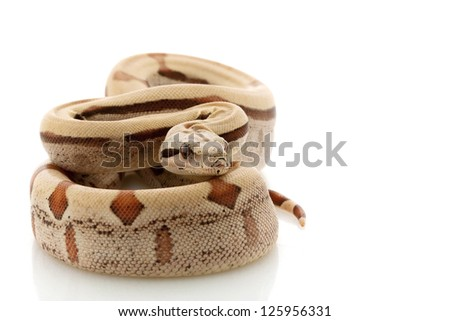 Hypomelanistic jungle Columbian red-tailed boa (Boa constrictor constrictor) isolated on white background.