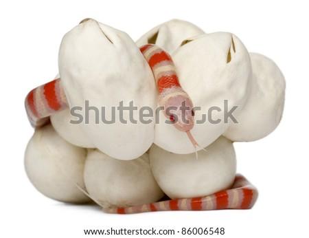 Hypomelanistic milk snake or milksnake, lampropeltis triangulum hondurensis, 18 minutes old, in front of white background - stock photo