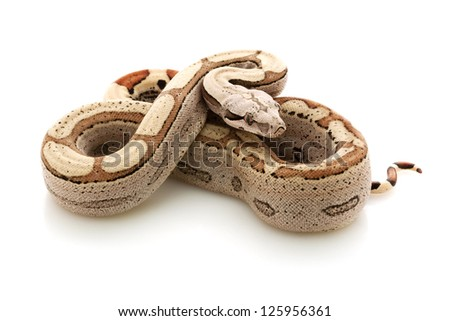 Hypomelanistic motley Columbian red-tailed boa (Boa constrictor constrictor) isolated on white background. - stock photo