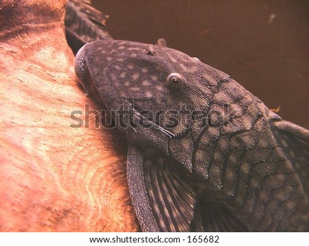 hypostomus plecostomus - stock photo