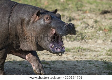 hyppopotamus close up portrait while yawning - stock photo