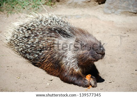 Hystrix eating carrot