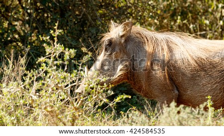 I am Cool - Phacochoerus africanus - The common warthog is a wild member of the pig family found in grassland, savanna, and woodland in sub-Saharan Africa. - stock photo
