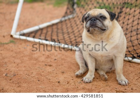 I am goal keeper.(Pug dog playing in front of net goal.)