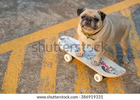 I am sk8tr pug.(Fawn pug dog playing skateboard on road.) - stock photo