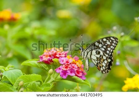 I am the butterfly caterpillar on flower nectar feeders Island Baan Phakakrong beautifully . - stock photo