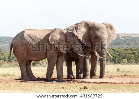 I ear you - The African bush elephant is the larger of the two species of African elephant. Both it and the African forest elephant have in the past been classified as a single species.