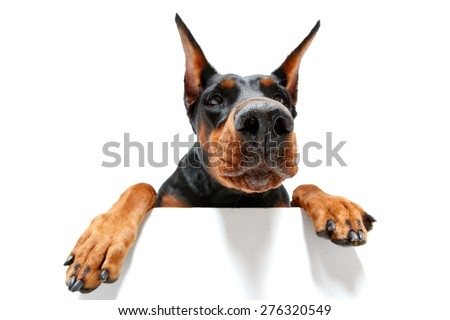 I go to you. Close up portrait of climbing doberman pinscher on isolated white background. - stock photo