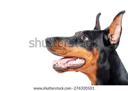 I listen attentive. Close up sideview of doberman pinscher on isolated white background - stock photo