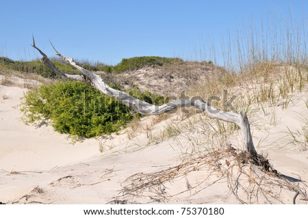 I love this piece of driftwood - or maybe a dead tree - in the dunes.  Cumberland Island, Georgia, April 2011 - stock photo