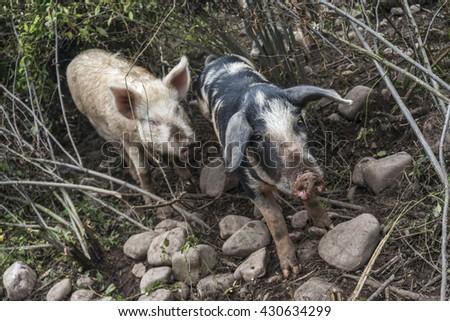 I pig looking at camera behind another in a natural environment - stock photo