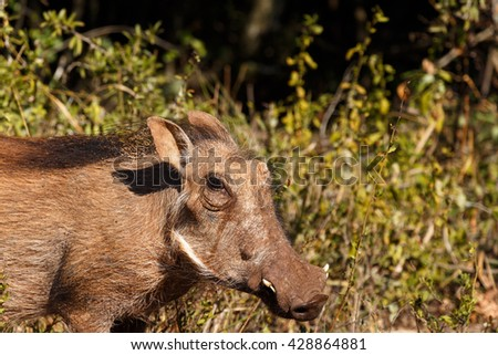I sea You - Phacochoerus africanus - The common warthog is a wild member of the pig family found in grassland, savanna, and woodland in sub-Saharan Africa. - stock photo