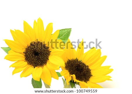 I took two sunflowers in a white background.