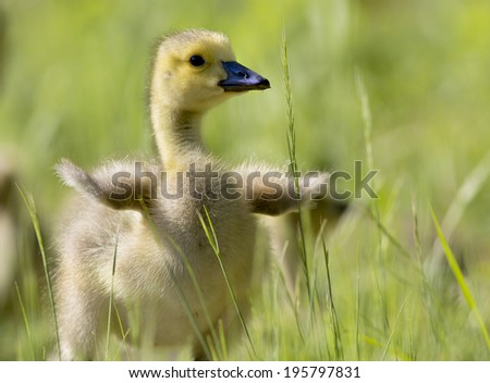 I Want to Fly/ A gosling seemingly excited about his new wings. - stock photo