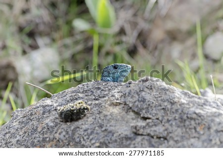 Iberian emerald lizard, over a rock. This reptil is endemic of Iberian Peninsula -Spain and Portugal-. Head is blue because he is a male in rut. This specie is threatened by habitat loss. - stock photo