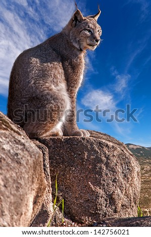 Iberian lynx sitting on a rock watching while sunbathing on a warm day - stock photo