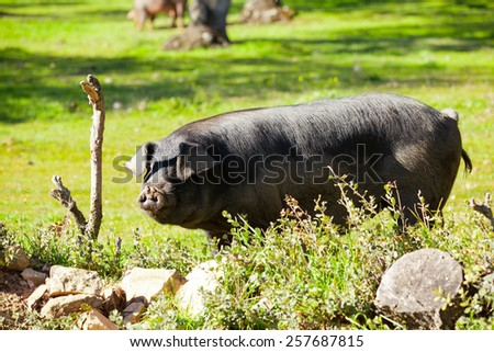 Iberian pig at the field - stock photo