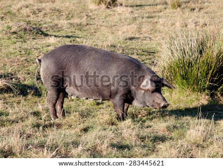 Iberian pig in the field of Extremadura, Spain. - stock photo