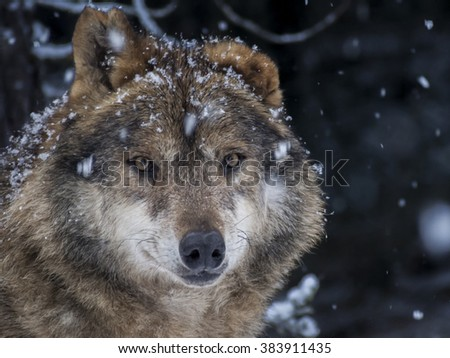 Iberian wolf  in the snow watching in the forest - stock photo