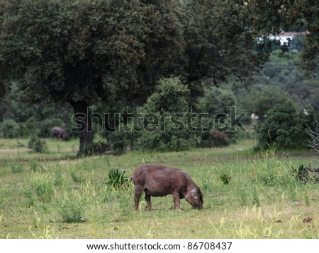 Iberic ham pigs free in the dehesa, Caceres - stock photo