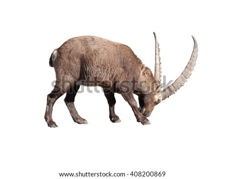Ibex adult male preparing to fight isoled on white background