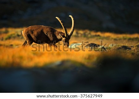Ibex, Capra ibex, antler alpine animal with coloured rocks in background, animal in the stone nature habitat, beautiful morning sun light,sunrise in the nature, Gran Paradiso, Italy - stock photo