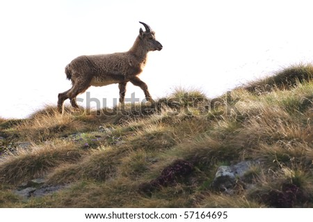 Ibex (Capra Ibex) walking on a meadow, isolated on white; new summer coat taking place of winter