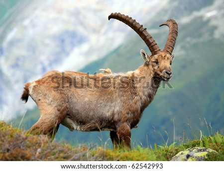Ibex in Aiguilles Rouges Reservation, France - stock photo