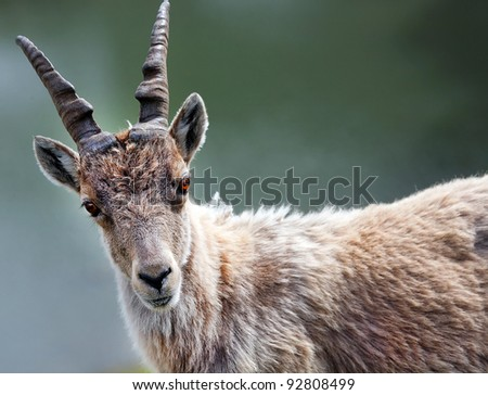 Ibex in natural habitat - stock photo