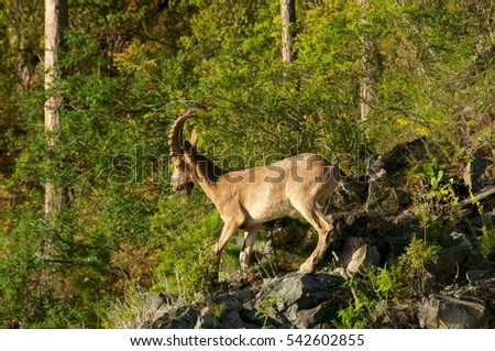 ibex on a background of green forest in the mountains, Khakasia, Russia