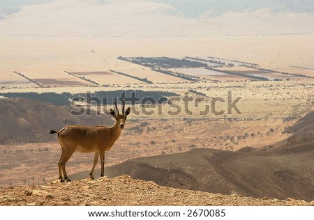 Ibex on the cliff at Ramon Crater (Makhtesh Ramon) in Negev Desert in Israel. - stock photo