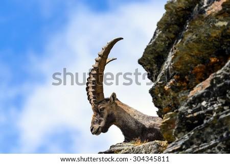 Ibex on the Hill of the Lion - Matterhorn - Capra ibex - stock photo
