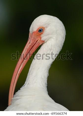 Ibis - stock photo
