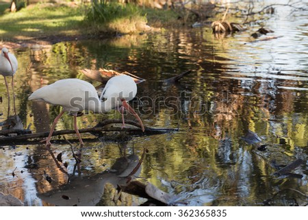 Ibis dabbling in shallow water in a tropical southern park