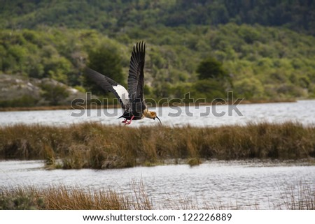Ibis flying in Tierra del Fuego, Ushuaia, Argentina - stock photo