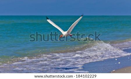 Ibis (Threskiornithinae) flying over beach - stock photo