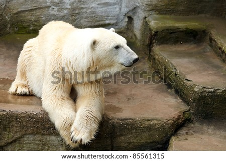 Ice bear lying on the cliffs in the zoo