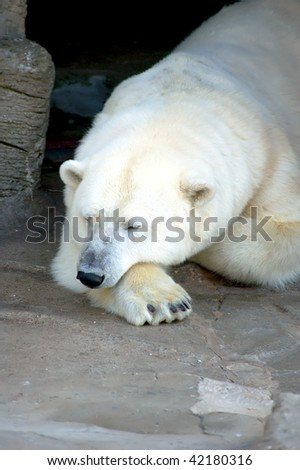 Ice Bear make a Rest - stock photo
