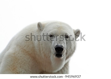ice bear portrait - stock photo