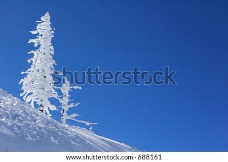 ice covered pine tree - stock photo