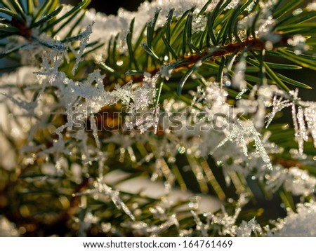 Ice Crystals on Pine Tree Branches in Winter