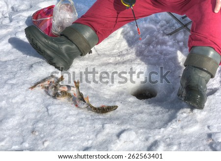 Ice fishing for perch. Angler producing the jig effect - stock photo