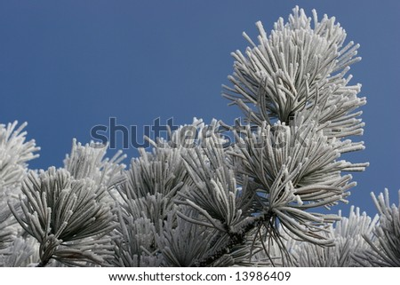 Ice Frost On Pine Tree