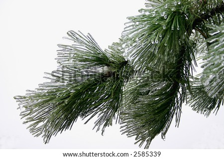 ice on a pine branch - stock photo