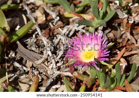 Ice plant succulent ground cover with a pink flower, Delosperma cooperi - stock photo