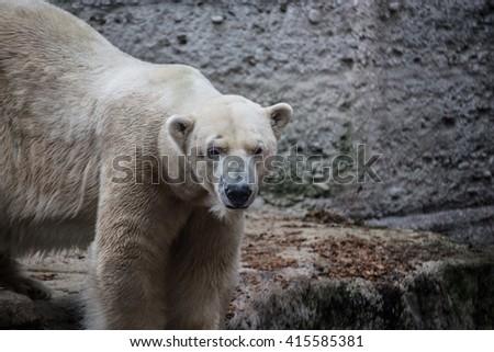 Icebear - stock photo