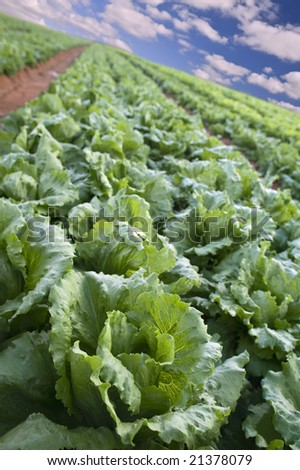 Iceberg lettuce field in the Sharon region, Israel - stock photo