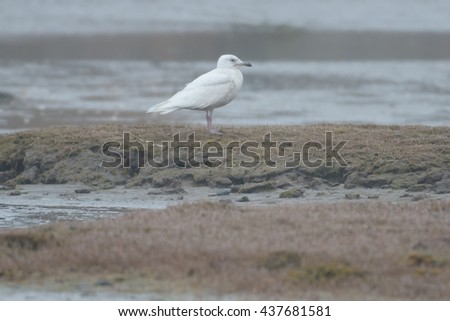 Iceland Gull standing on the foggy sea shore.
