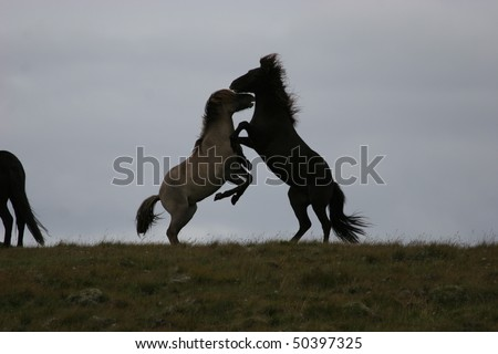 Iceland horses play on a cloudy day - stock photo