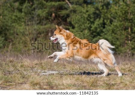 Iceland hound running - stock photo